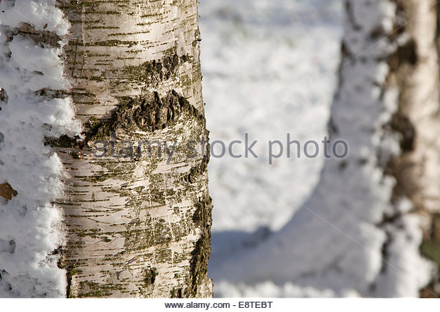 birch tree jewish personals Finns, who introduced a birch-tree sweetener for gum, have found that the habit of chewing sticky lumps dates back thousands of years.