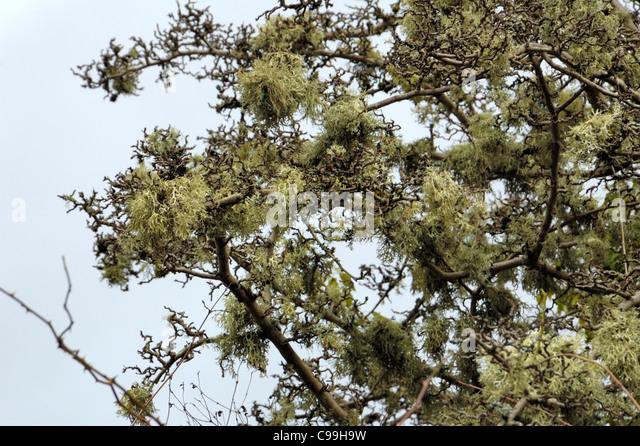 Ramalina farinacea, abundant on a tree - Stock Image