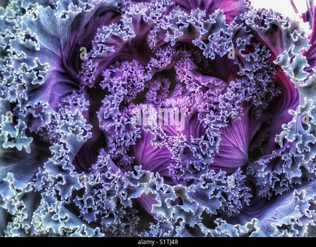 Purple cabbage flower - Stock Image