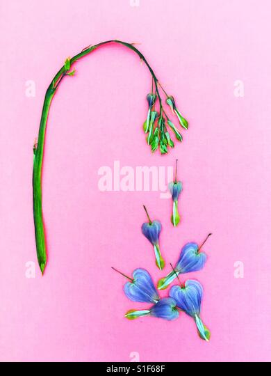 Bleeding heart flowers arranged to look like they're falling off a tree. - Stock Image