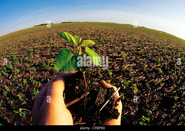 Hand holding early growth soybean plant near Dugald, Manitoba, Canada - Stock Image