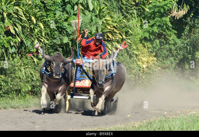 Balinese buffalo chariot racing is unique to western Bali - Stock Image