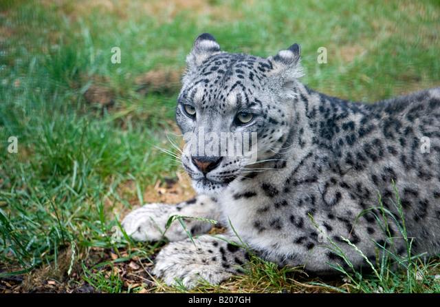Snow Leopard (Panthera uncia) - 1 - Stock Image