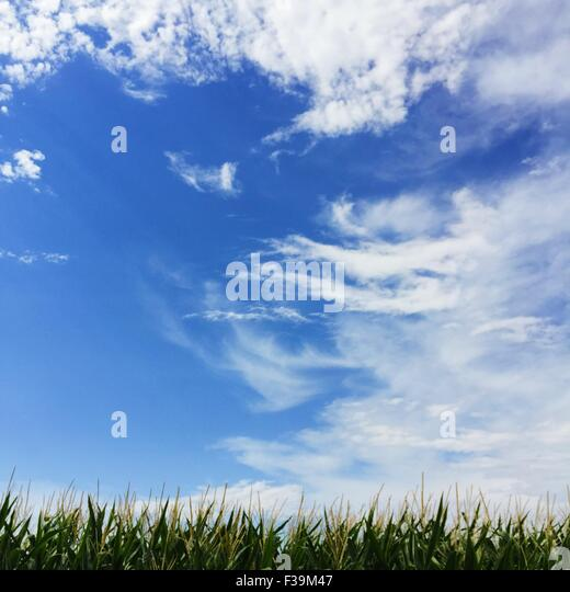 Minimalist corn field and wispy cloudy blue sky - Stock Image