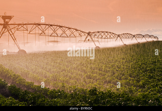 Agriculture - A center pivot irrigation system irrigates a field of mid growth potatoes / Tiger Hills, Manitoba, - Stock Image