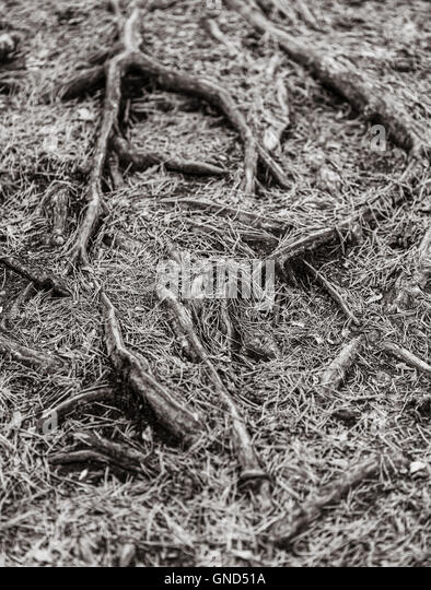 Tree roots covered with pine needles on the ground in forest. - Stock-Bilder