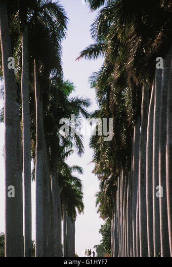 avenue of palm trees along road on the Isle of Youth, la Isla de la Juventud in Cuba Caribbean - Stock Image
