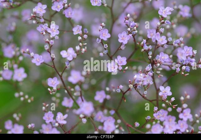Gypsophila cultivar, Gypsophila, Purple. - Stock Image
