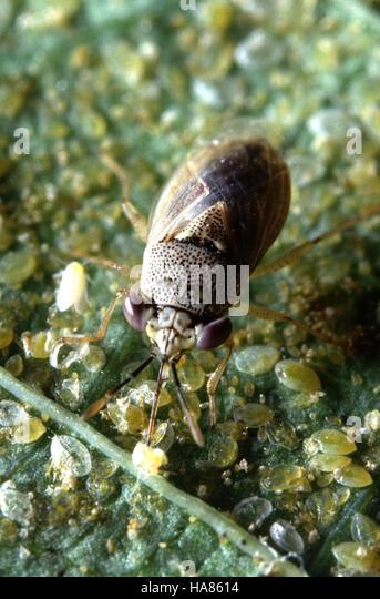 Big Eyed Bug Stock Photos & Big Eyed Bug Stock Images - Alamy