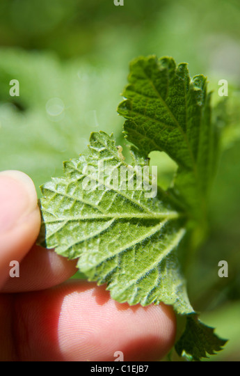 Red currant leaves under attack by the currant sawfly - Stock Image