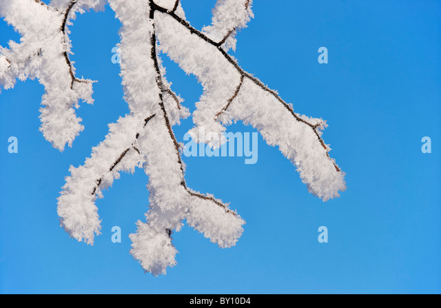 Snow covered twigs and blue sky. - Stock Image