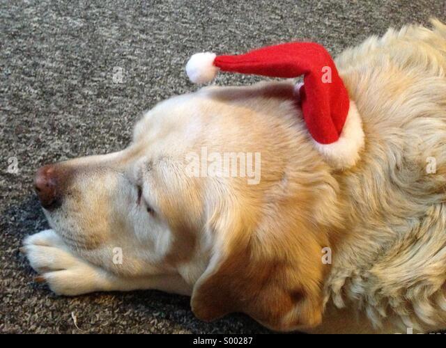 Dog with Xmas hat - Stock Image