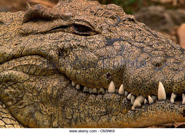 Nile crocodile, Kenya - Stock Image
