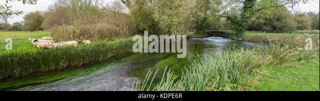 A panoramic view of sheep and a hatch pool by the River Test in Hampshire - Stock Image