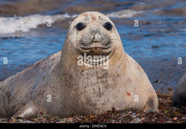 Elephant seal on Punta Ninfas, Chubut, Argentina - Stock Image