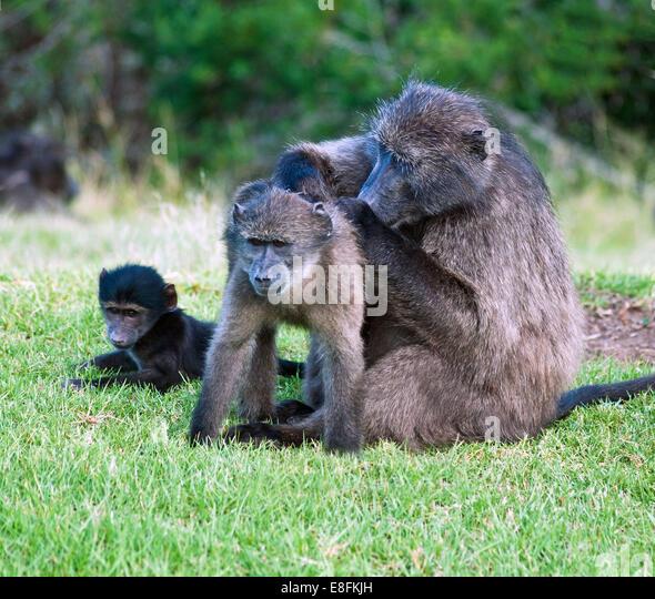 Eastern Cape, South Africa African Baboon - Stock-Bilder