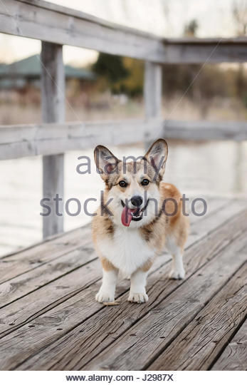 Pembroke Welsh Corgi puppy - Stock Image