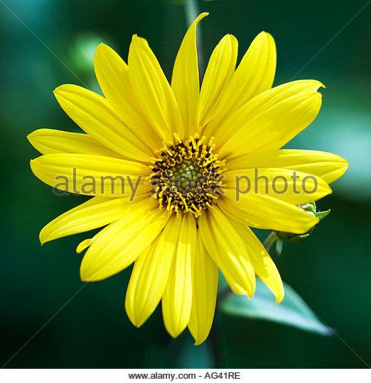 Yellow rudbeckia hirta stock photos yellow rudbeckia for Format 41 raumgestaltung ag