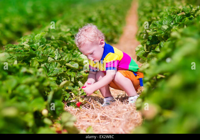 Child picking strawberries. Kids pick fresh fruit on organic strawberry farm. Children gardening and harvesting. - Stock-Bilder