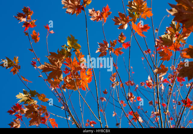 Close-Up Of Autumn Leaves On Tree - Stock Image