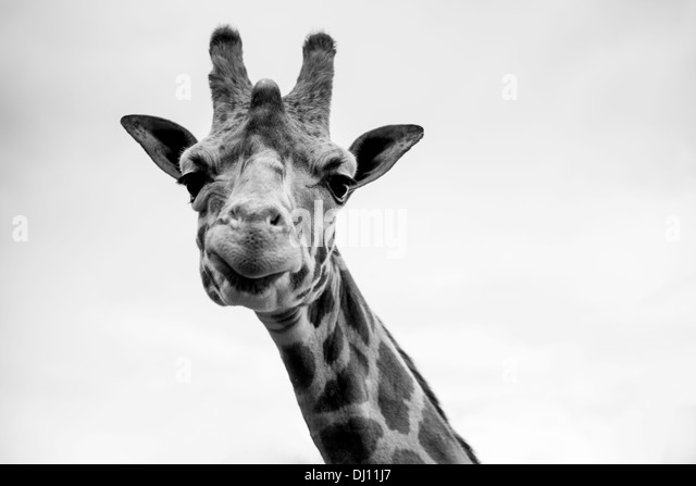 A single giraffe portrait in black and white - Stock Image