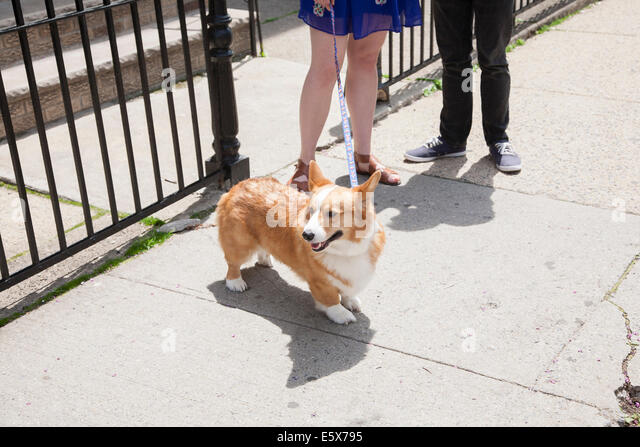 Cropped shot young couple taking corgi dog for a walk - Stock Image