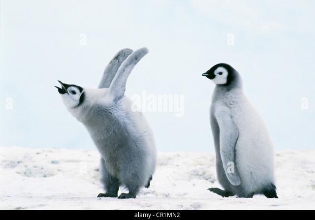 Emperor penguin (Aptenodytes forsteri) chicks, Weddell Sea, Antarctica - Stock Image