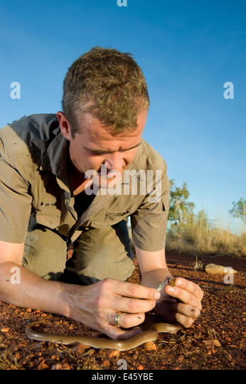 Researcher Guido Westhoff handling a curl snake (Suta suta) caught earlier in Corella Dam. Queensland, Australia, - Stock Image