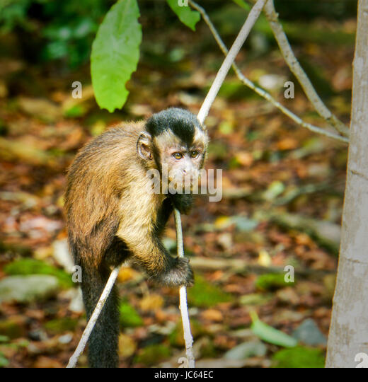 Young Hooded Capuchin monkey climbing in the trees. Devil's Island - Stock Image