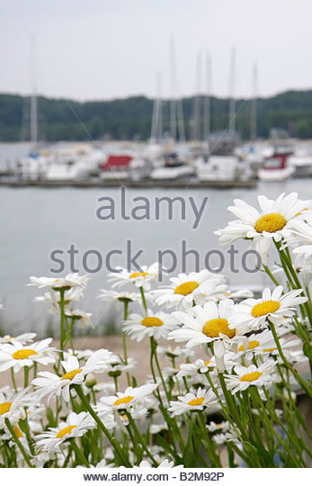 Michigan Traverse City Old Mission Peninsula West Arm Grand Traverse Bay Bowers Harbor Marina daisies flowers boats - Stock Image