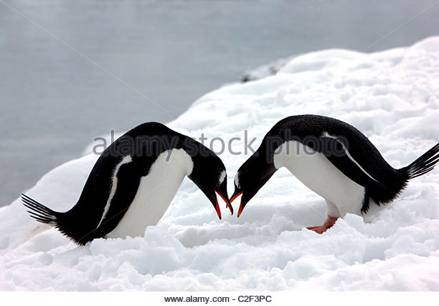 Two penguins are kissing on the snowfield - Stock Image