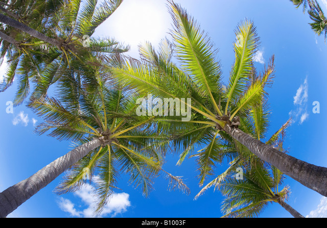 coconut palm trees, upward view in Miami Beach, Florida - Stock Image