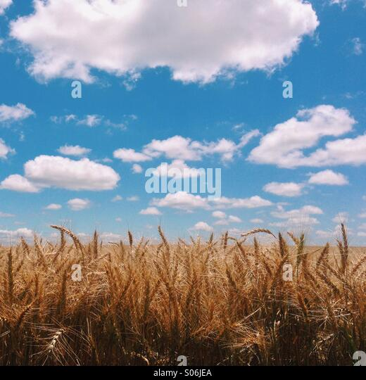 Oklahoma Wheat - Stock Image