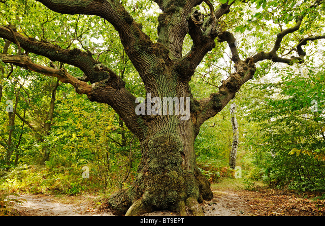 Century-old oak (Quercus) in the Naturschutzgebiet Insel Vilm nature reserve in the Biosphaerenreservat Suedost - Stock Image