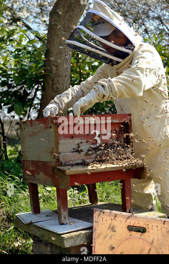 bee keeper inspecting beehive and bee colony health in spring - Stock Image