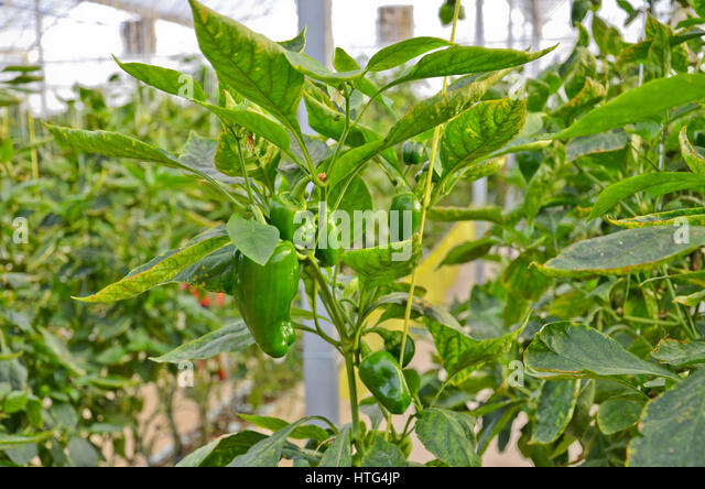 how to grow capsicum in greenhouse