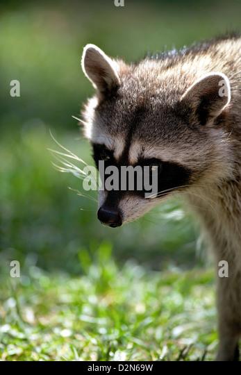 Portrait of common raccoon (Procyon lotor), Bearizona Wildlife Park, Williams, Arizona, United States of America, - Stock Image