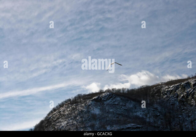 Seagull flying above snow covered mountain top in upstate New York. - Stock Image
