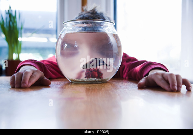 Boy watching his pet betta fish in a fish tank / fishbowl - Stock Image