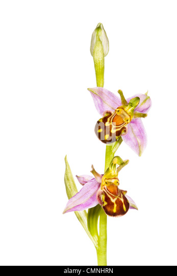 Bee orchid in flower, photographed against a white background. Peak District National Park, Derbyshire, UK. June. - Stock Image