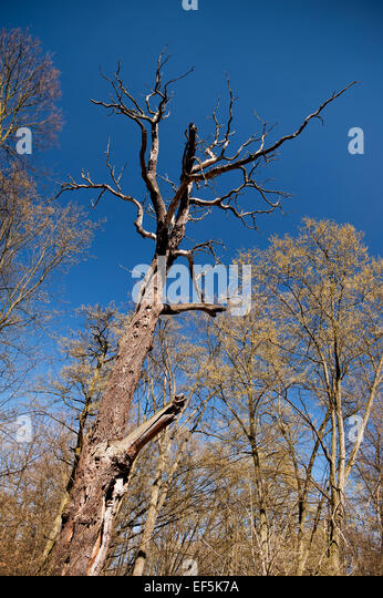 Old dead trunk decayed tree weathered - Stock Image