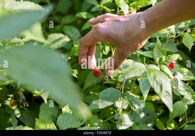 Hand of woman picking raspberry - Stock Image