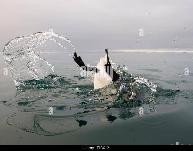 Vancouver Island Sea Bird Black Head