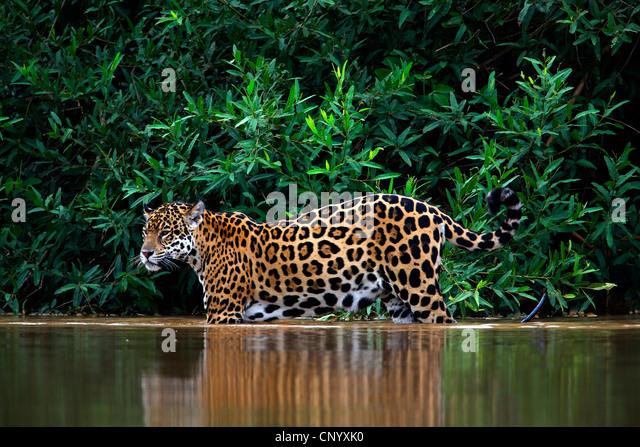 jaguar (Panthera onca), walking in water, Brazil, Pantanal - Stock Image