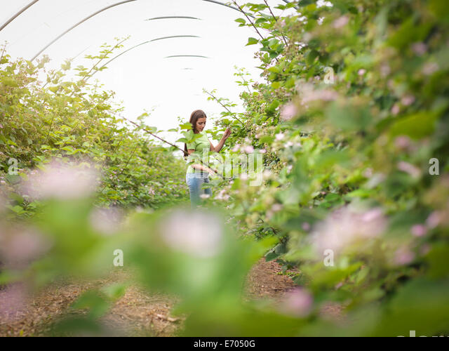 Working checking blackberry flowers in polytunnel on fruit farm - Stock Image
