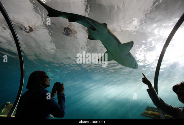 Acrylic glass tunnel where sharks swim above visitors, Sydney Aquarium, Sydney, New South Wales, Australia - Stock Image