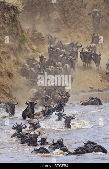 Blue Wildebeest (Connochaetes taurinus) crossing the Mara River - Stock-Bilder