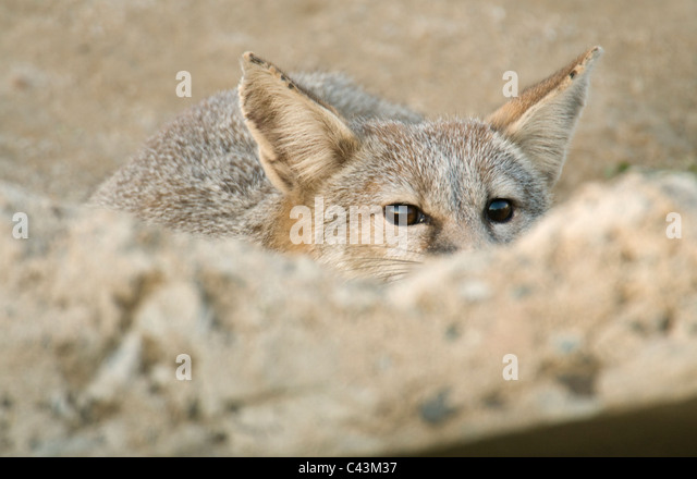 San Joaquin Kit Fox (Vulpes macrotis mutica) Adult at sidewalk den entrance, Bakersfield, California ENDANGERED - Stock Image
