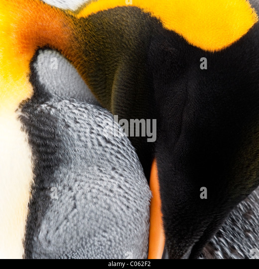 King Penguin preening, Salisbury Plain, South Georgia, South Atlantic. - Stock Image