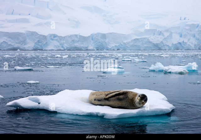 Leopard Seal resting on an ice flow in the Antarctic - Stock Image